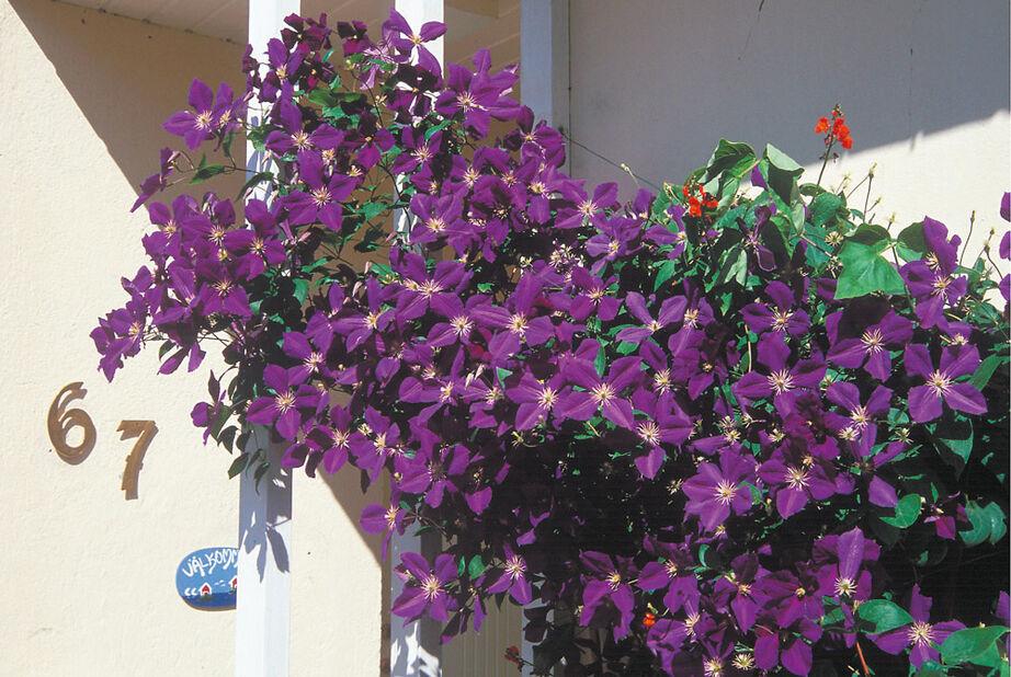 Jalokärhö, Korkeus 60 cm, Violetti