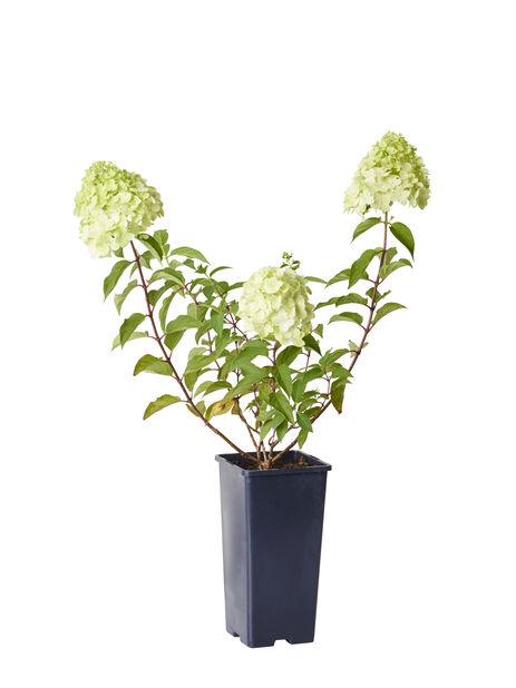Syyshortensia 'Grandiflora', Korkeus 30 cm, Valkoinen