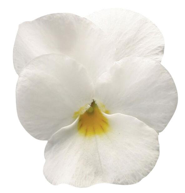 Orvokki pienikukkainen, 6 kpl, Valkoinen