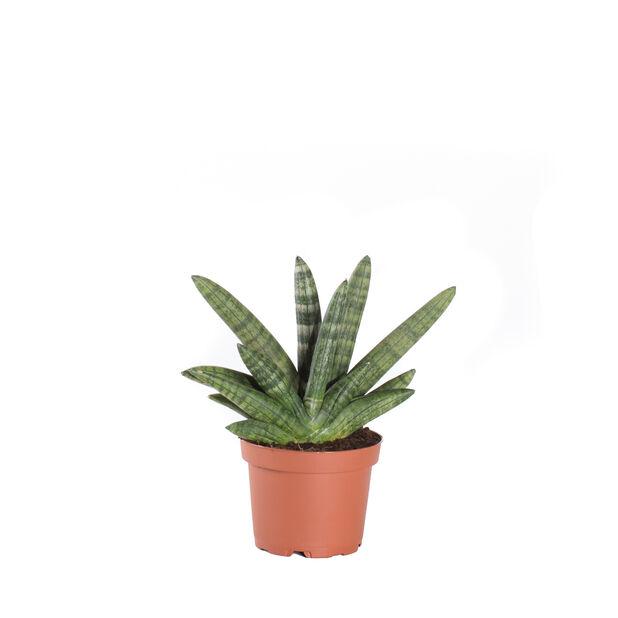 Anopinkieli, Korkeus 20 cm, Vihreä