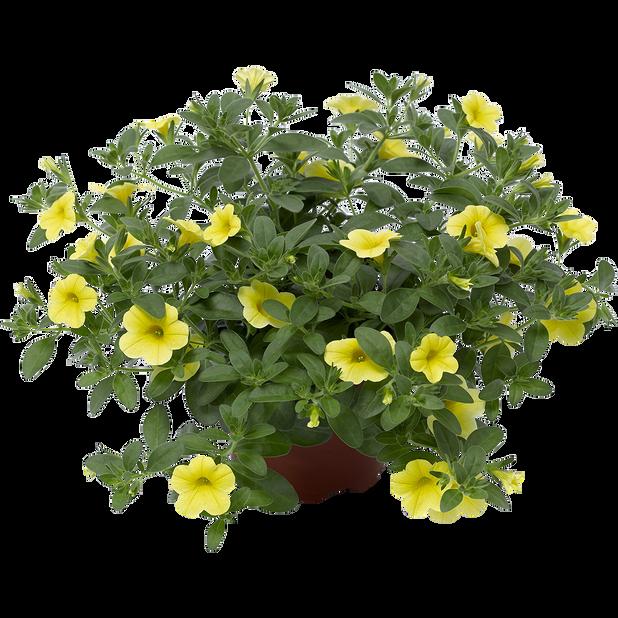 Petunia 'Yellow', Ø12 cm, Keltainen