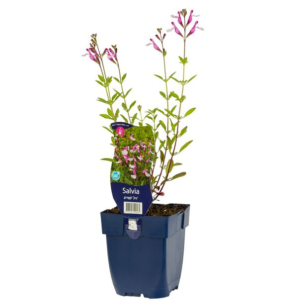 Salvia 'Joy', Ø11 cm, Pinkki