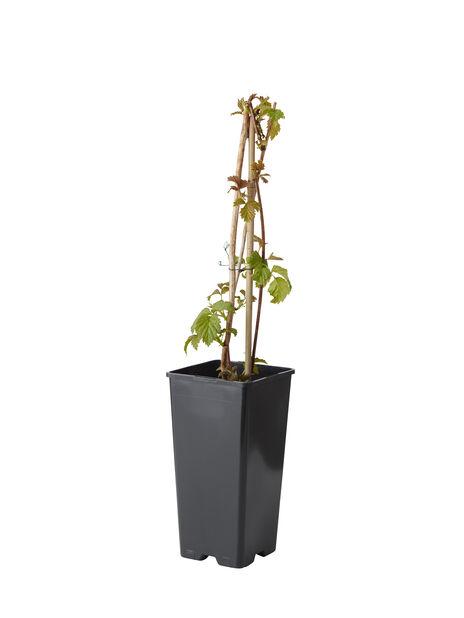 Vadelma 'Algonquin', Korkeus 30 cm, Punainen