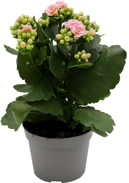 Tulilatva, Korkeus 25 cm, Pinkki