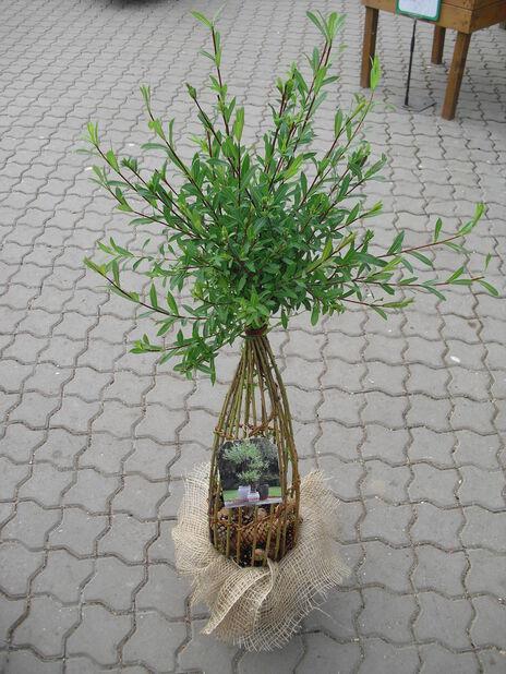 Kierrepaju, Korkeus 60-80 cm, Vihreä