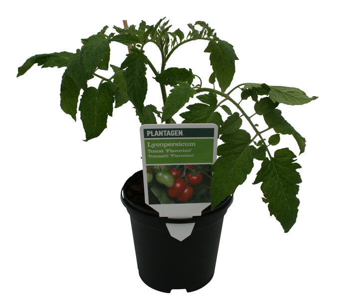Tomaatti 'Favorita'
