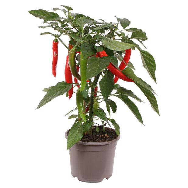 Chili, Ø14 cm, Punainen