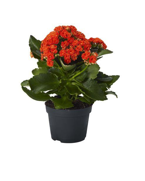 Tulilatva, Korkeus 25 cm, Oranssi