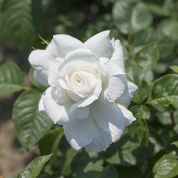 Isokukkainen ruusu 'Annapurna', Korkeus 25 cm, Valkoinen