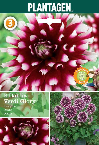 Dahlia Decorative Glory Verdi, Valkoinen