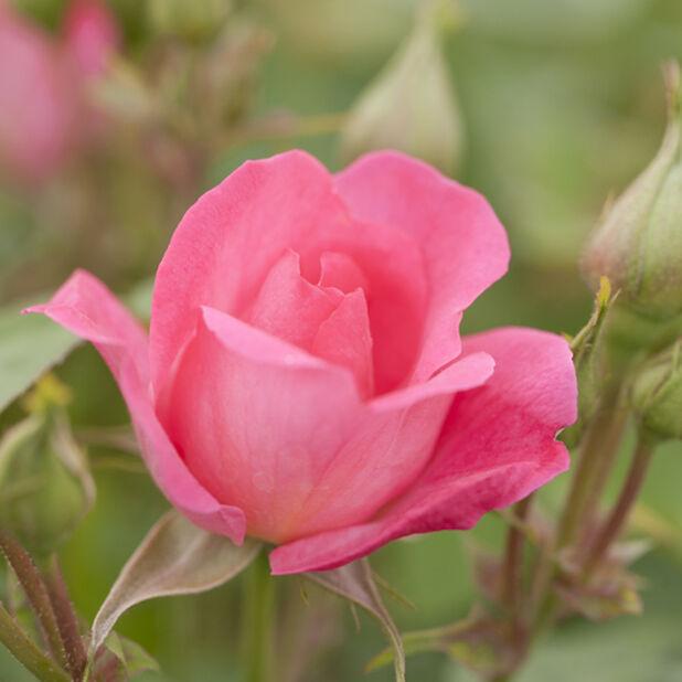 Ruusu `Melrose`, Korkeus 25 cm, Pinkki
