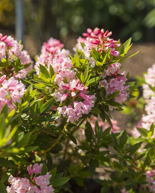 Kääpiöalppiruusu 'Bloombux', Ø19 cm, Pinkki