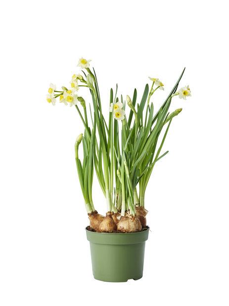 Narsissi, Ø12 cm, Monivärinen