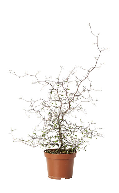 Kummituspuu, Korkeus 40 cm, Vihreä