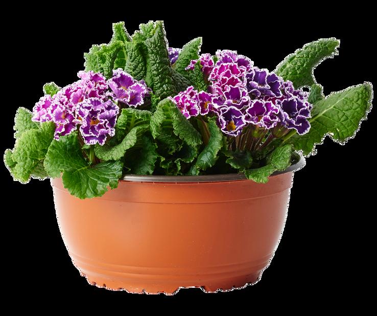 Kevätesikko 'Sirococco'