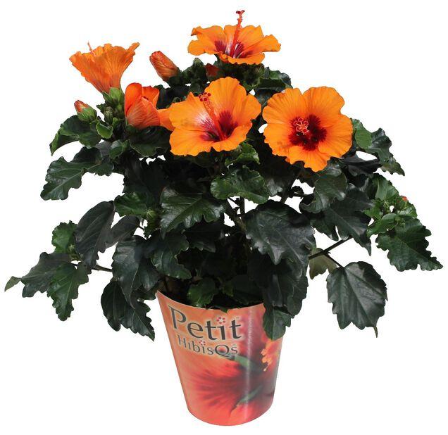 Kiinanruusu 'Petit', Korkeus 30 cm, Oranssi
