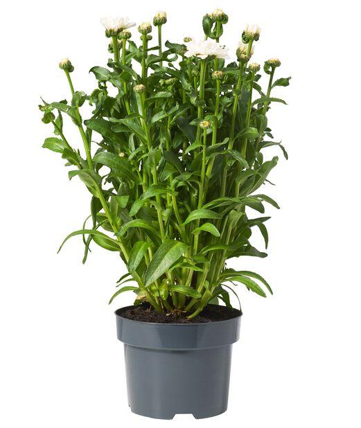 Päivänkakkara 'Sweet Daisy Jane', Ø17 cm, Valkoinen
