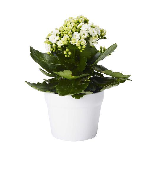 Kalanchoe Roseflower MIX 11 cm