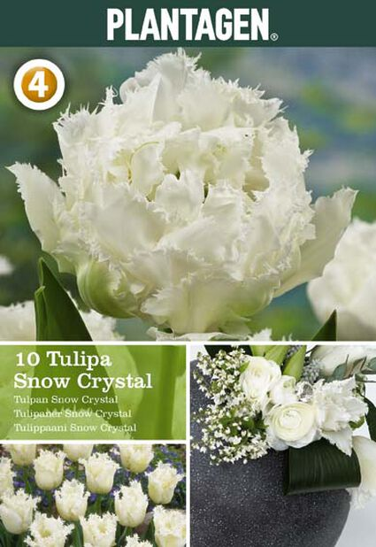 Tulppaani 'Snow Crystal', Useita värejä