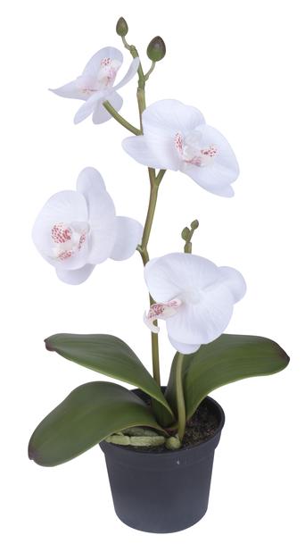 Orkidea pieni tekokasvi, Korkeus 25 cm, Valkoinen