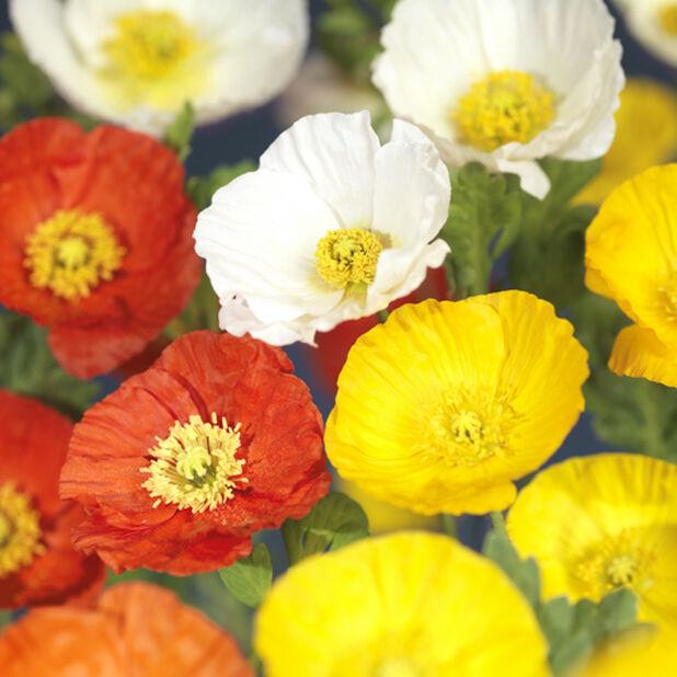 Siperianunikko 'Gartenzwerg', Korkeus 40 cm, Useita värejä