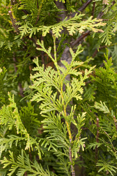 Thuja occidentalis 'Brabant' 140-160 15L
