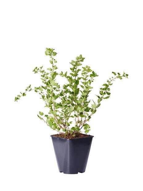 Karviainen 'Invicta', Korkeus 35 cm, Vihreä