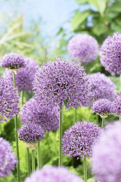 Allium 'Gladiator', Useita värejä