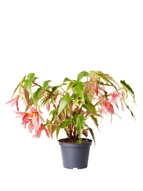 Begonia 'Bovilia' 12 cm