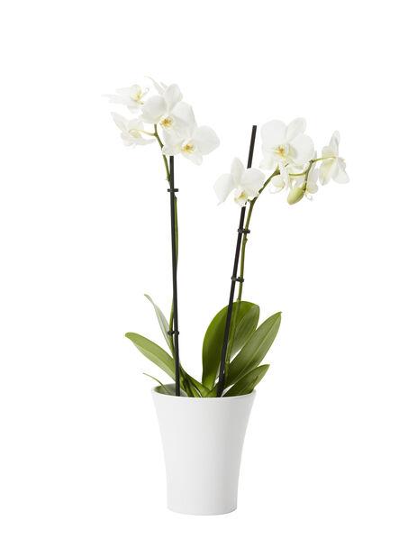 Perhosorkidea 15+ pientä kukkaa 9 cm