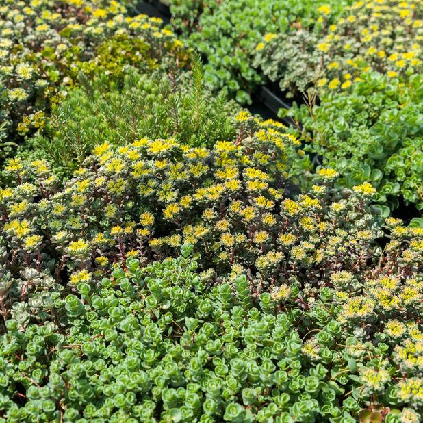 Maksaruoho, Ø17 cm, Useita värejä