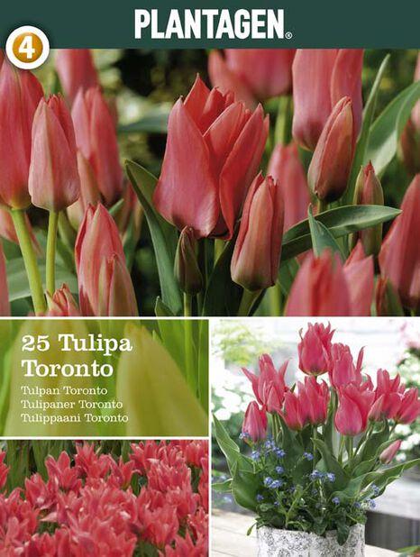 Tulppaani 'Toronto', Useita värejä