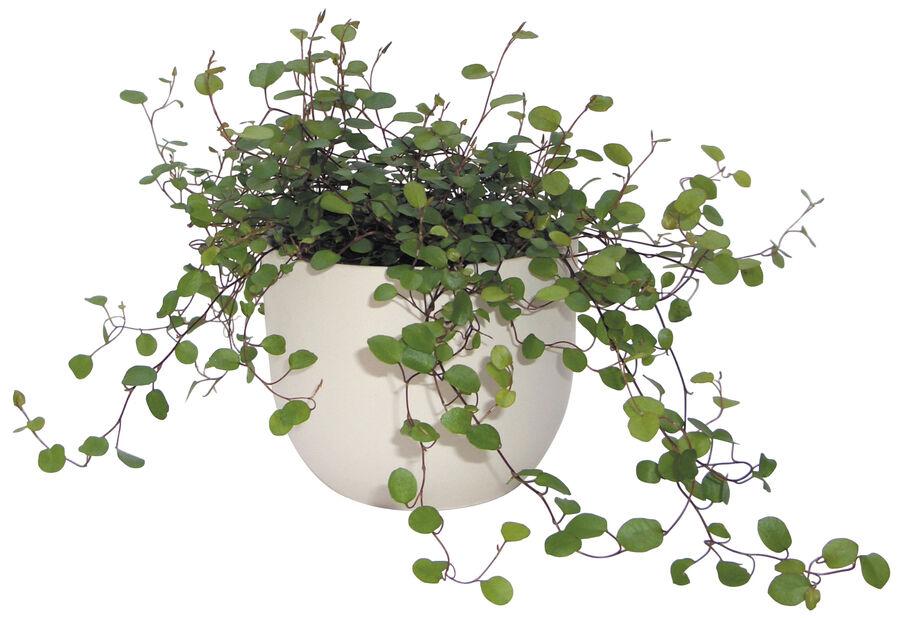 Lankaköynnös , Korkeus 10 cm, Vihreä