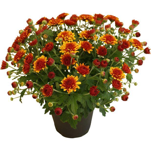 Pallokrysanteemi , Ø12 cm, Oranssi