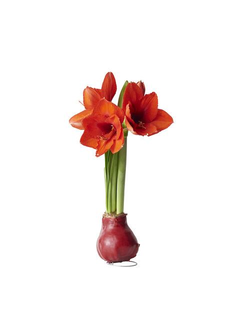 Amaryllis, Ø13 cm, Useita värejä