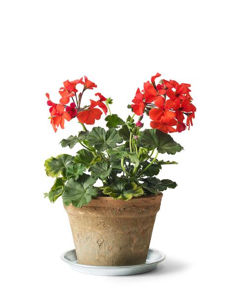 Pelargonium 'Caliente Orange 14 cm