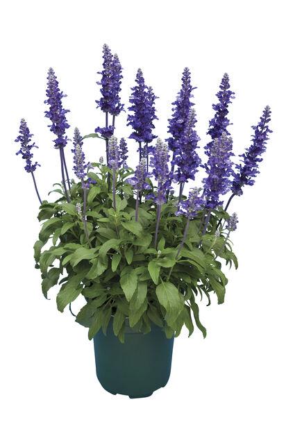 Salvia, Ø19 cm, Sininen