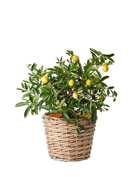 Sitruskasvi, eri lajikkeita