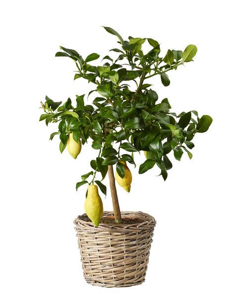 Sitruspuu rungollinen, Ø21 cm, Keltainen