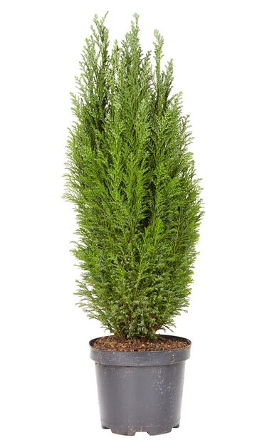 Lawsoninsypressi, Korkeus 60 cm, Sininen