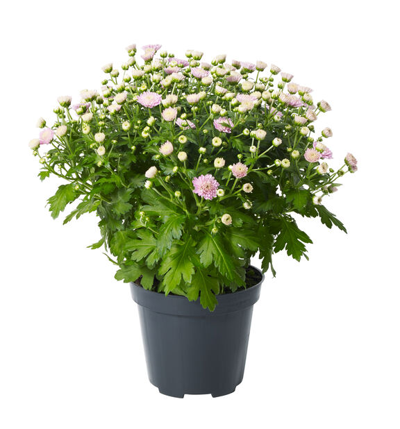 Pallokrysanteemi, Ø12 cm, Pinkki
