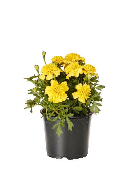 Tagetes small fl. Yellow 12 cm