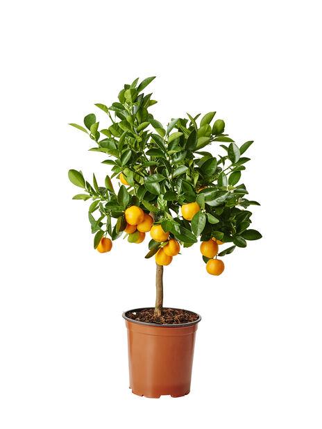 Kääpiösitrus rungollinen, Ø19 cm, Oranssi