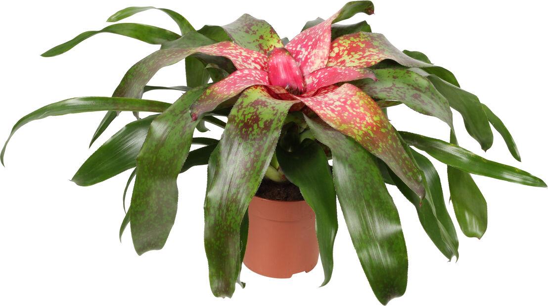 Koruananas, Korkeus 25 cm, Pinkki