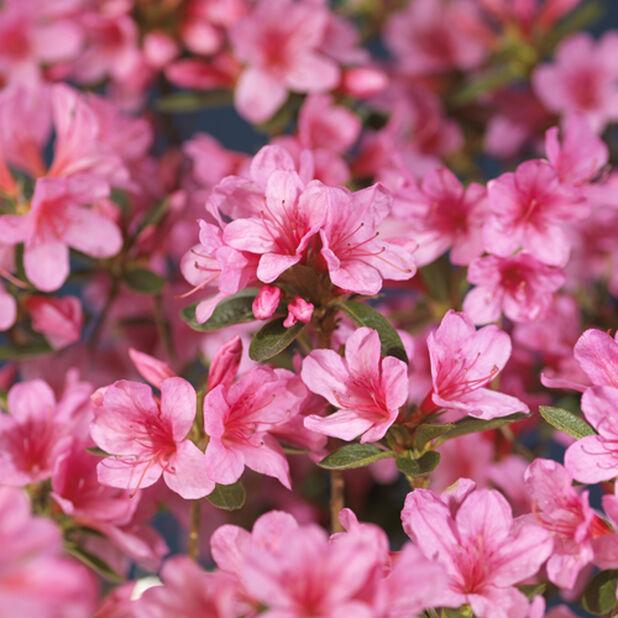 Japaninatsalea 'Roza', Ø23 cm, Pinkki