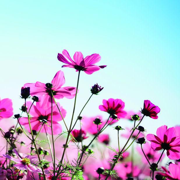 Lautasliina kukkaniitty, Leveys 33 cm, Pinkki