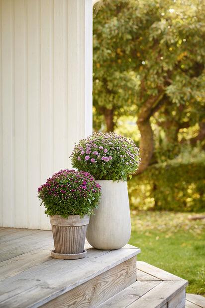 Pallokrysanteemi , Ø19 cm, Useita värejä
