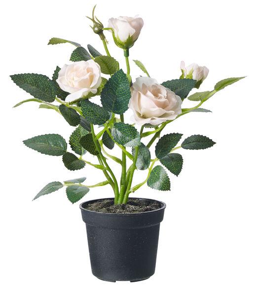 Tekokasvi miniruusu , Korkeus 20 cm, Luonnonvalkoinen