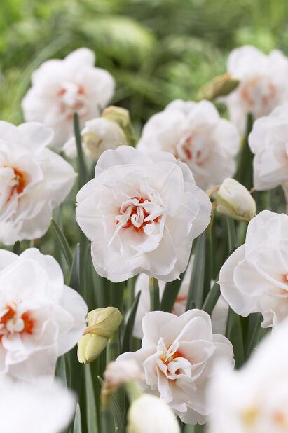 Narcissus 'Acropolis', Useita värejä