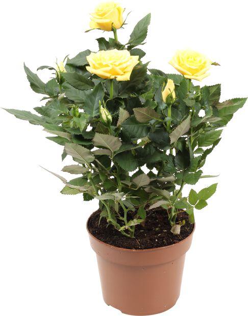 Ruukkuruusu, Korkeus 30 cm, Keltainen